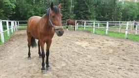 Paard in de paddock stock videobeelden