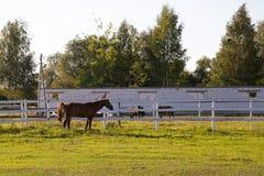Paard in de paddock op het landbouwbedrijf stock fotografie
