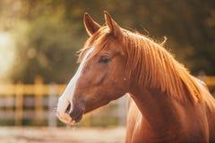 Paard in de paddock, in openlucht, ruiter Royalty-vrije Stock Afbeelding