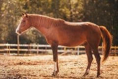 Paard in de paddock, in openlucht, ruiter Royalty-vrije Stock Fotografie