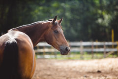 Paard in de paddock, in openlucht, ruiter Stock Foto
