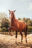 Paard in de paddock, in openlucht, ruiter Stock Foto's
