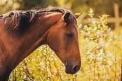 Paard in de paddock, in openlucht, ruiter Royalty-vrije Stock Foto's