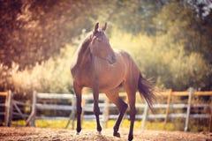 Paard in de paddock, in openlucht, ruiter Royalty-vrije Stock Foto