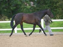 Paard in de Ring van de Show Stock Foto