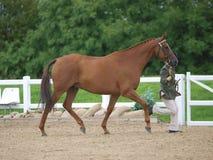 Paard in de Ring van de Show Royalty-vrije Stock Foto's