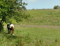 Paard in de schaduw Stock Fotografie
