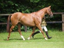 Paard in de Showring Royalty-vrije Stock Afbeeldingen