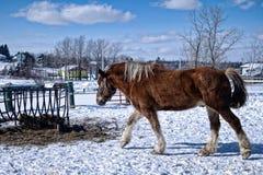Paard in de sneeuw Royalty-vrije Stock Fotografie