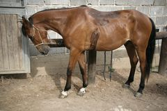 Paard in de stal Royalty-vrije Stock Fotografie