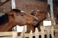 Paard in de stal Stock Fotografie