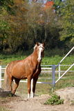 Paard in de stallen Stock Fotografie