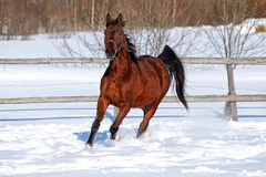 Paard in de winter Stock Fotografie