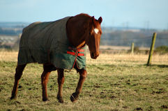 Paard in de winter Stock Foto