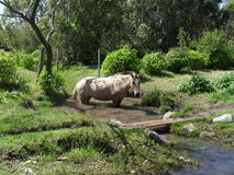 Paard die een bad nemen Royalty-vrije Stock Foto's