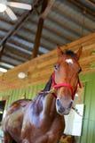 Paard die gebaad worden Royalty-vrije Stock Afbeelding