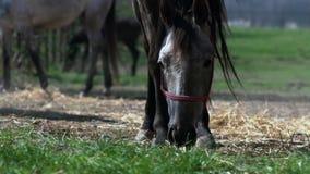 Paard die gras in stal eten stock video