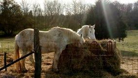 2 paard die Hay In The Sun eten Stock Afbeeldingen