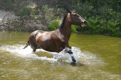 Paard die in het water lopen Stock Foto