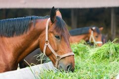 Paard die hooi eten Royalty-vrije Stock Afbeelding