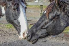 paard die neuzen wrijven Royalty-vrije Stock Foto's
