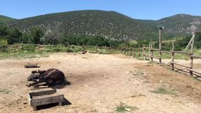 Paard die op de grond liggen stock footage