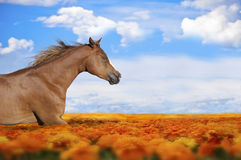 Paard die op een Bloemgebied lopen Stock Afbeelding