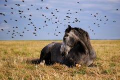 Paard die op een gebied rusten royalty-vrije stock afbeelding