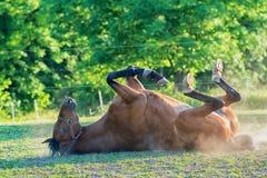 Paard die op het gras liggen Royalty-vrije Stock Afbeeldingen