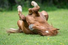 Paard die op weide rusten Stock Afbeelding