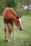 Paard die rondwandelen Royalty-vrije Stock Foto's