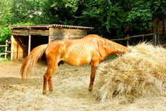 Paard die Straw Stable eten Royalty-vrije Stock Foto's