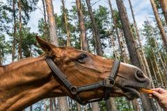 Paard die wortel in een bos eten Stock Afbeeldingen