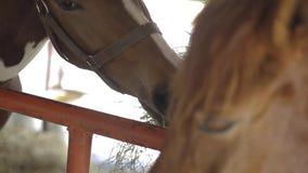 Paard die zich in box bevinden en hooi eten stock videobeelden