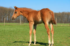 Paard die zich in het gras bevinden Stock Afbeeldingen
