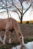 Paard Drinkwater dicht omhoog Royalty-vrije Stock Fotografie
