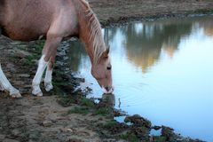 Paard Drinkwater dicht omhoog Stock Fotografie