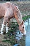 Paard Drinkwater dicht omhoog Royalty-vrije Stock Afbeelding