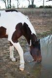 Paard Drinkwater dicht omhoog Royalty-vrije Stock Foto