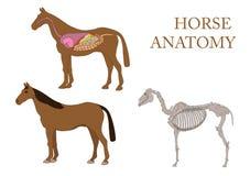 Paard, dwarsdoorsnede en skelet Stock Afbeelding