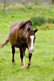 Paard in een weide Royalty-vrije Stock Afbeelding