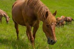 Paard in een weilandclose-up Stock Afbeelding