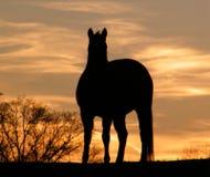 Paard en de zonsondergang Stock Foto's