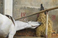 Paard en het voeden Royalty-vrije Stock Afbeeldingen