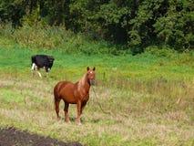 Paard en koe Royalty-vrije Stock Afbeelding