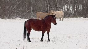 Paard en koeien op gebied in sneeuwonweer stock video