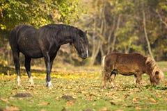 Paard en poney op geel gebied Stock Fotografie