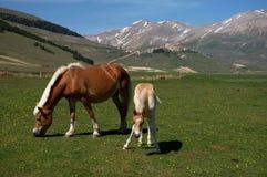 Paard en veulen stock afbeeldingen