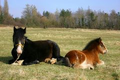 Paard en veulen Stock Fotografie
