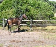 paard - Engelse volbloed Royalty-vrije Stock Afbeelding